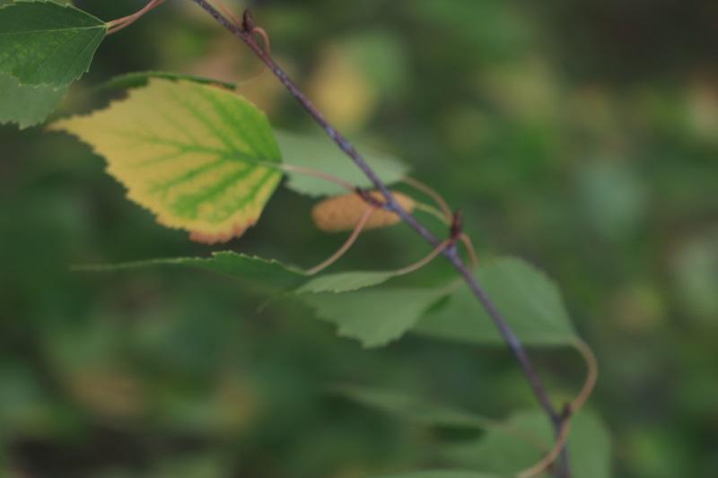 桦树的叶和籽
