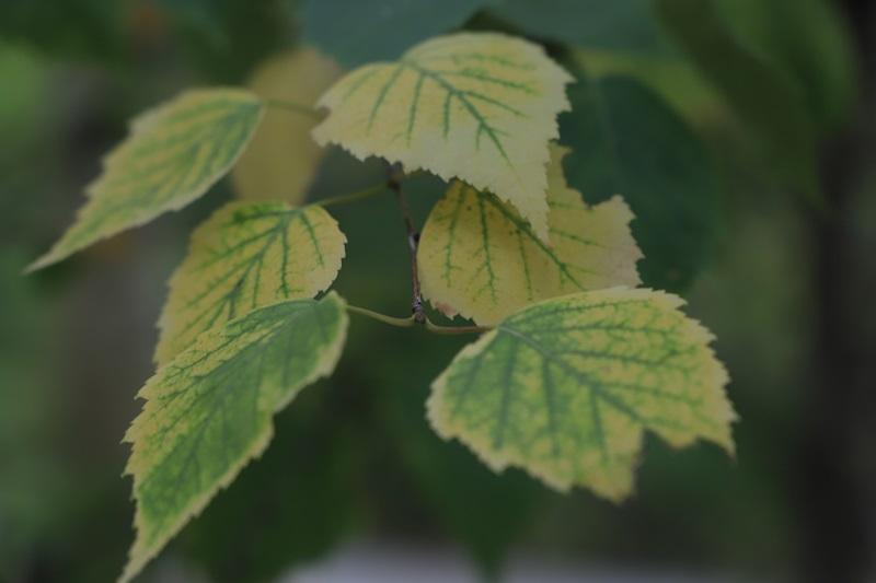 青黄相间的桦叶