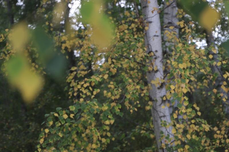由青泛黄的桦树