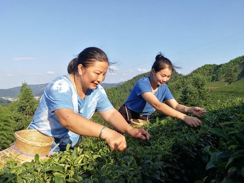 丰收季里,茶农曾祥珍在忙碌采收秋茶(李志勋摄)