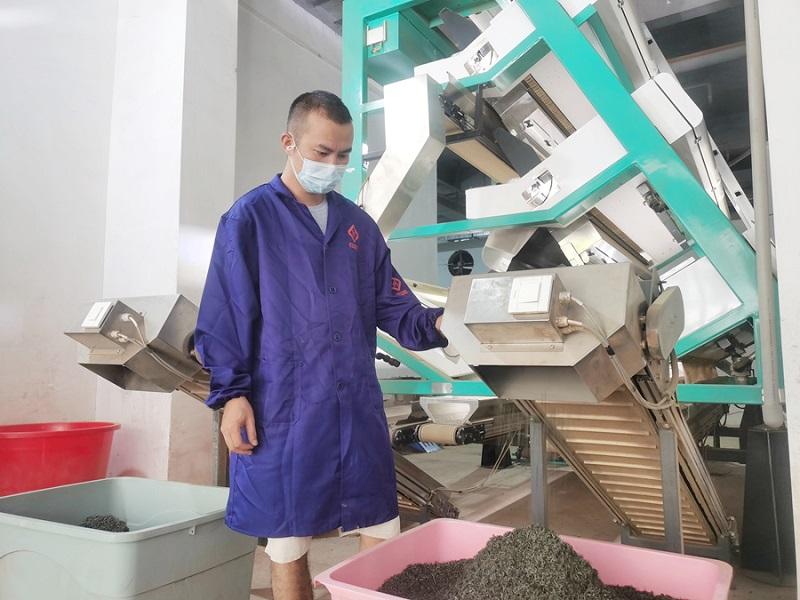 截止目前,黎平茶产量11835吨,图为茶农正在忙碌色选秋茶(石光照摄)