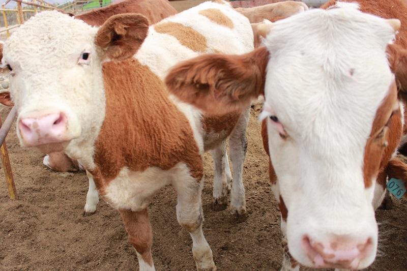 新疆阿勒泰地区布尔津县也格孜托别乡丹麒农林发展专业合作社大力推进林果业、特色养殖和观光休闲农业产业发展,养殖了驴、牛、鸵鸟、沙棘鸡等拓宽群众增收致富渠道。 (6)