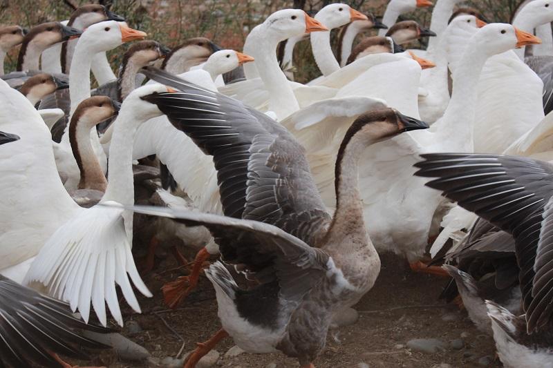 新疆阿勒泰地区布尔津县也格孜托别乡丹麒农林发展专业合作社大力推进林果业、特色养殖和观光休闲农业产业发展,养殖了驴、牛、鸵鸟、沙棘鸡等拓宽群众增收致富渠道。 (12)