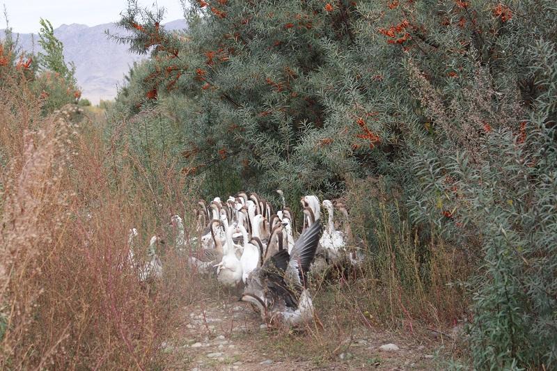 新疆阿勒泰地区布尔津县也格孜托别乡丹麒农林发展专业合作社大力推进林果业、特色养殖和观光休闲农业产业发展,养殖了驴、牛、鸵鸟、沙棘鸡等拓宽群众增收致富渠道。 (13)
