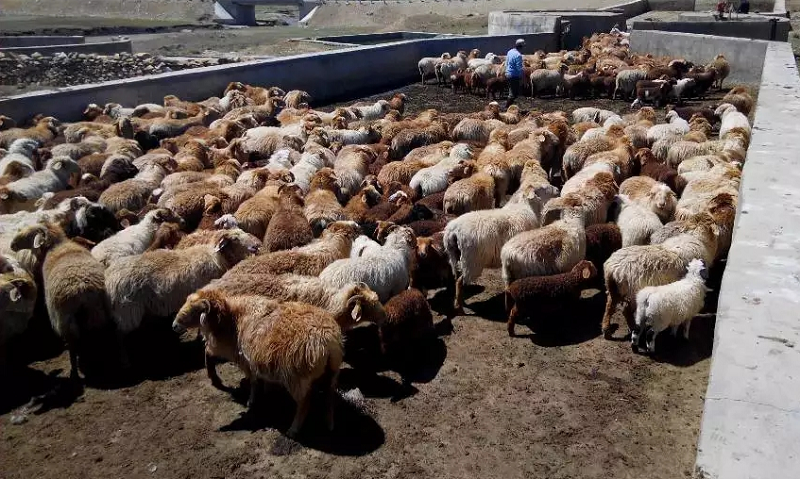 牧民们赶着成群的羊儿,分批次在药浴池里依次经过