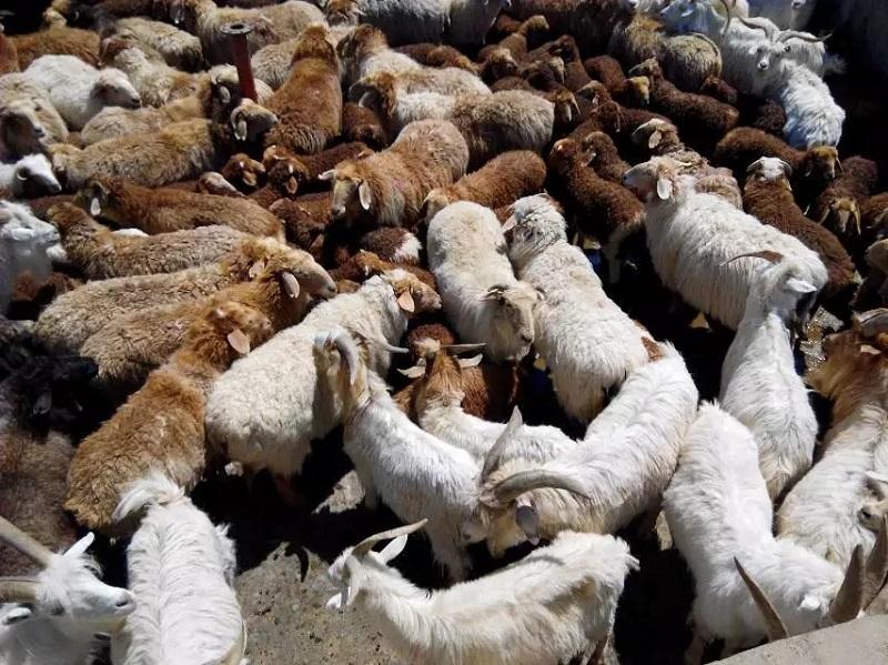 等待药浴的羊