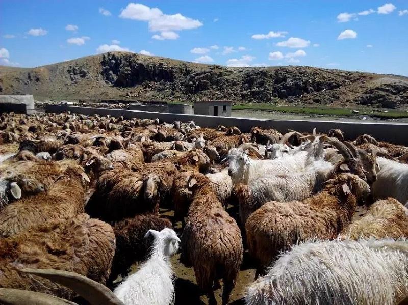 药浴后的羊