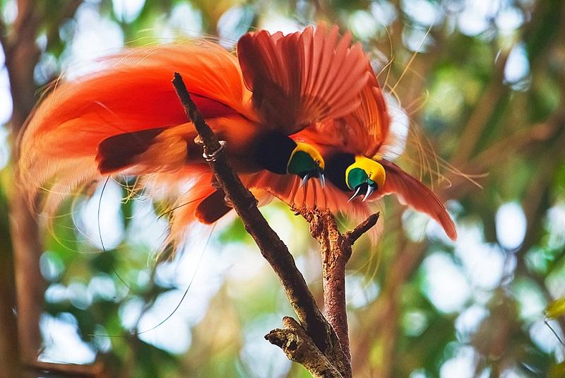 巴布亚新几内亚美丽的天堂鸟