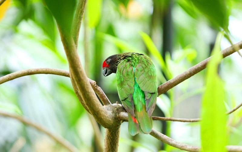 巴布亚新几内亚鹦鹉