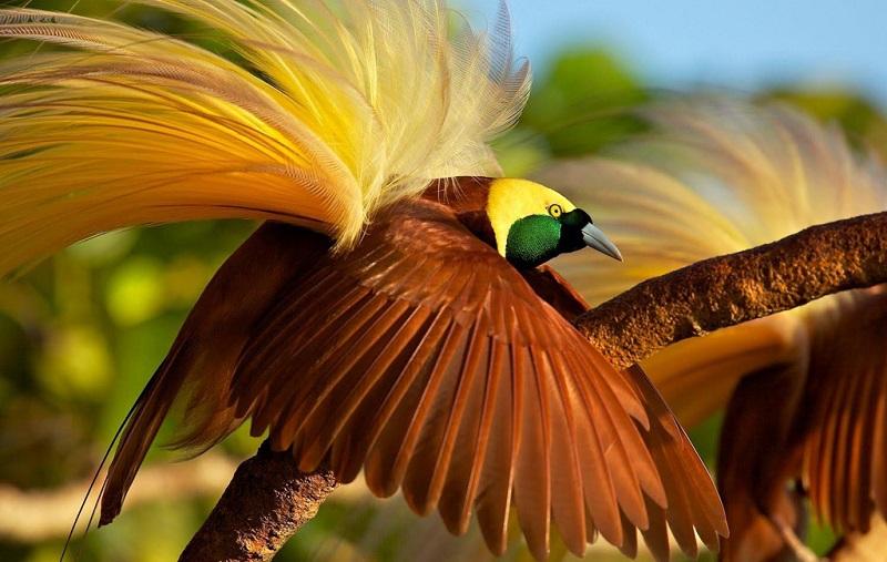 美丽的天堂鸟